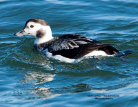 HEN LONG-TAILED DUCK 1053-049