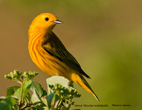MALE YELLOW WARBLER  835-130