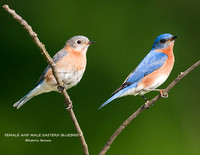 FEMALE AND MALE EASTERN BLUEBIRD 826-059