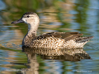 FEMALE BLUE-WINGED TEAL   241-028
