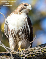 JUVENILE RED-TAILED HAWK 1118-023