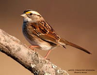 WHITE-THROATED SPARROW  722-001