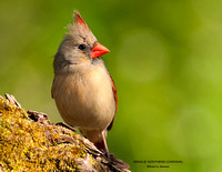 FEMALE NORTHERN CARDINAL 806-059