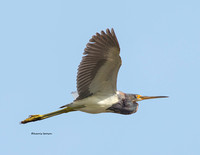 TRI COLORED HERON 1286-031