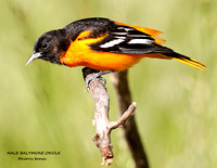 MALE BALTIMORE ORIOLE 838-103