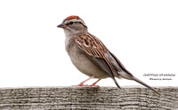 CHIPPING SPARROW 583-6502