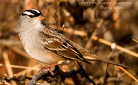 WHITE-CROWNED SPARROW 502-109