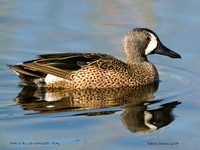 MALE BLUE-WINGED TEAL  249-163