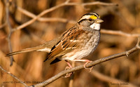 WHITE THROATED SPARROW 501-123