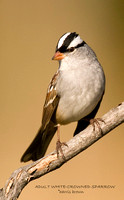 ADULT WHITE-CROWNED SPARROW 487-156