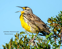 EASTERN MEADOWLARK 1245-068