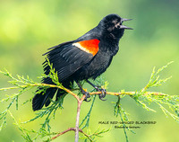 MALE RED-WINGED BLACKBIRD 1264-003