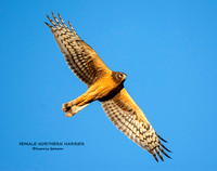 FEMALE NORTHERN HARRIER 1182-055