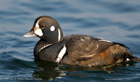 FEMALE HARLEQUIN DUCK  377-134