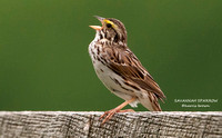SAVANNAH SPARROW 583-6475