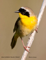 MALE COMMON YELLOW THROAT 838-201