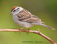 CHIPPING SPARROW 808-128