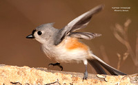 TUFTED TITMOUSE 772-093