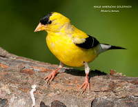 MALE AMERICAN GOLDFINCH 1099-029