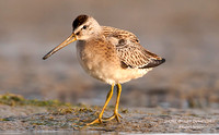 SHORT-BILLED DOWITCHER  608-112