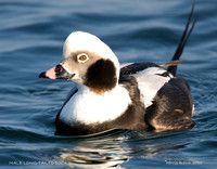 MALE LONG-TAILED DUCK 377-205