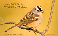 ADULT WHITE-CROWNED SPARROW 485-032