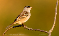 ADULT WHITE-CROWNED SPARROW 492-060