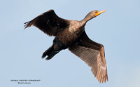 DOUBLE-CRESTED CORMORANT 750-056