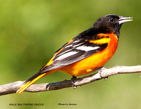 MALE BALTIMORE ORIOLE 838-094