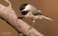 CAROLINA CHICKADEE  774-180