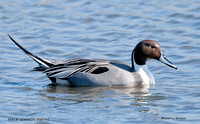 MALE  COMMON PINTAIL  527-076