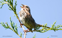 SONG SPARROW SINGING 441-200