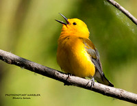 PROTHONOTARY WARBLER  836-198