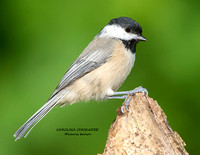 CAROLINA CHICKADEE 2-1223-056