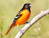 MALE BALTIMORE ORIOLE 838-120