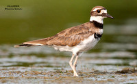 KILLDEER   606-041