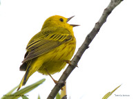 YELLOW WARBLER SINGING  335-019