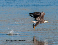 ADULT BALD EAGLE AND FISH 1119-018