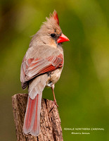 FEMALE NORTHERN CARDINAL 818-070-2