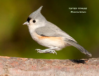 TUFTED TITMOUSE 1114-019