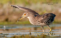 JUVENILE BLACK-CROWNED NIGHT HERON  619-011