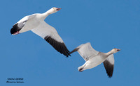 FLYING SNOW GEESE 518-057