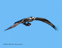 OSPREY AND FISH 1112-054