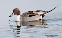 MALE COMMON PINTAIL 522-026