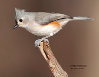 TUFTED TITMOUSE  1129-040