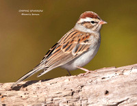 CHIPPING SPARROW 1038-93