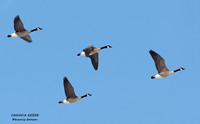 FLYING CANADA GEESE 518-044