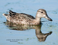 JUVENILE BLUE-WINGED TEAL 1111-109