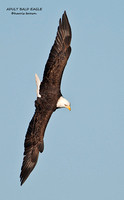 ADULT BALD EAGLE  686-145