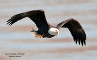 BALD EAGLE WITH FISH  689-117